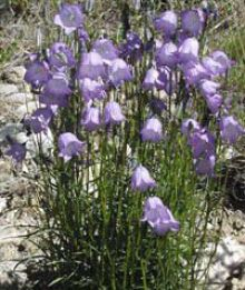 common harebell, rocky mountain flower
