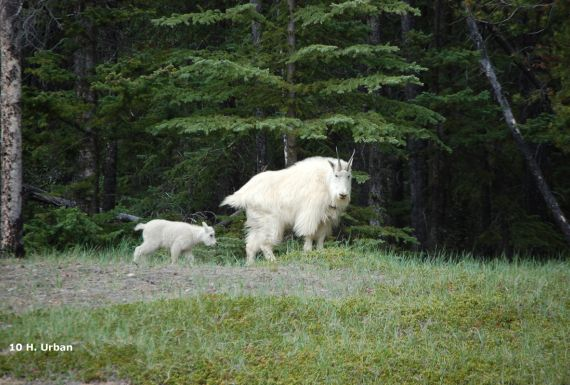 canadian rockies, family, mountain goats, camping